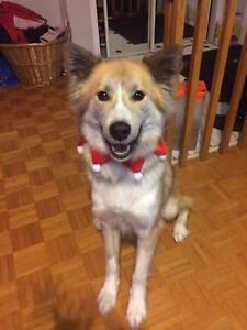 2 yr old husky dog looking for a loving home