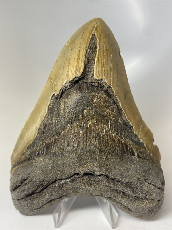 """Megalodon Shark Tooth 5.48"""" Beautiful - Real Fossil - Natural 9972"""