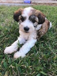 Chinese crested puppies Rockhampton Rockhampton City Preview