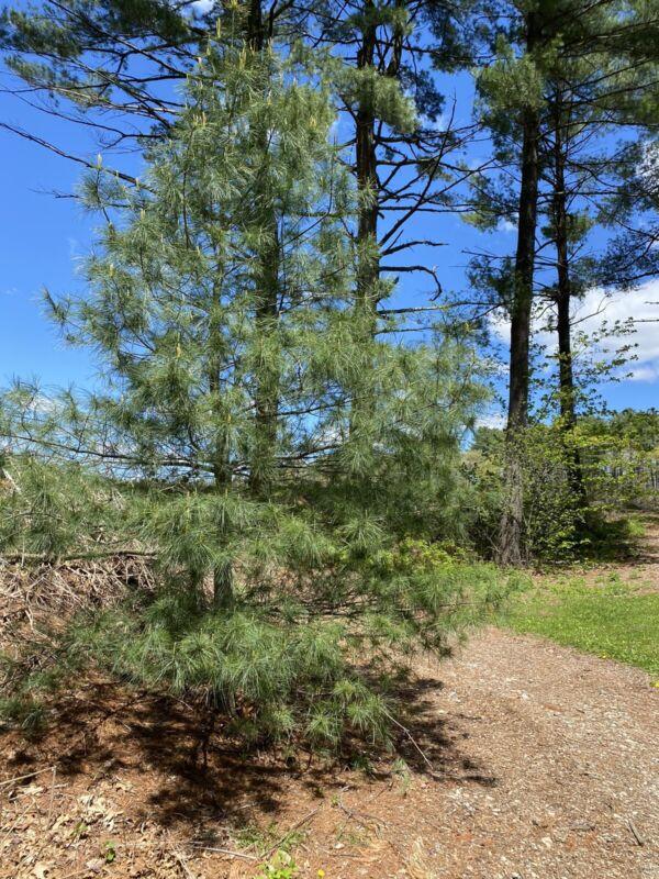 Eastern White Pine Needles Organic Wild Suramin Immune Boosting Home Brew 4oz