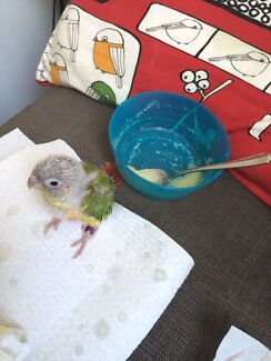 Gourgues Pineapple conure hand raised Lidcombe Auburn Area Preview