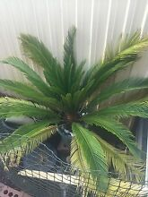 Cycad or Sago Palm Tree Endeavour Hills Casey Area Preview