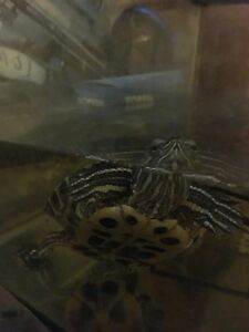 Red eared turtle for sale