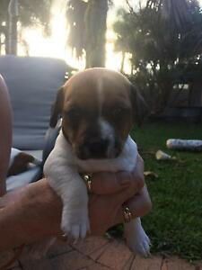 Miniature Foxy x Jack Russell puppies Bundaberg Central Bundaberg City Preview