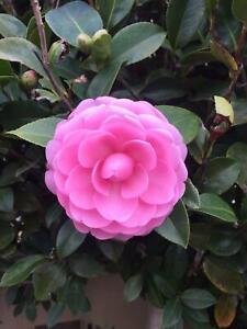 Standard Camellia - E.G. Waterhouse | Plants | Gumtree ... on