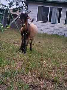 Goat for Sale Rosemeadow Campbelltown Area Preview