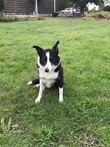 Border Collie Puppies Mortlake Moyne Area Preview