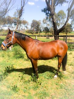 Quiet Gelding ! Tongala Campaspe Area Preview