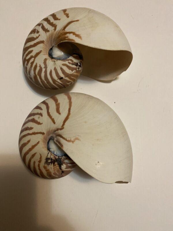 """NAUTILUS POMPILIUS Sea Shell Tiger Nautilus SEASHELL 5"""" Excellent"""