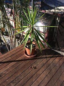 Yukkas in pots Buderim Maroochydore Area Preview