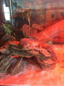 2 female geckos 120$