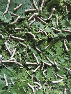 Free Silkworms  Floreat Cambridge Area Preview
