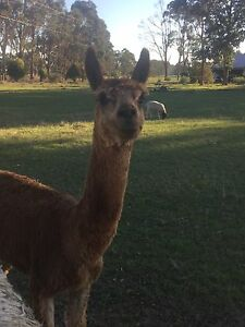 Alpaca male and wether bonded couple $200 Busselton Busselton Area Preview