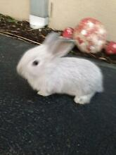 Baby Rabbits - one month and three months old. Newport Hobsons Bay Area Preview