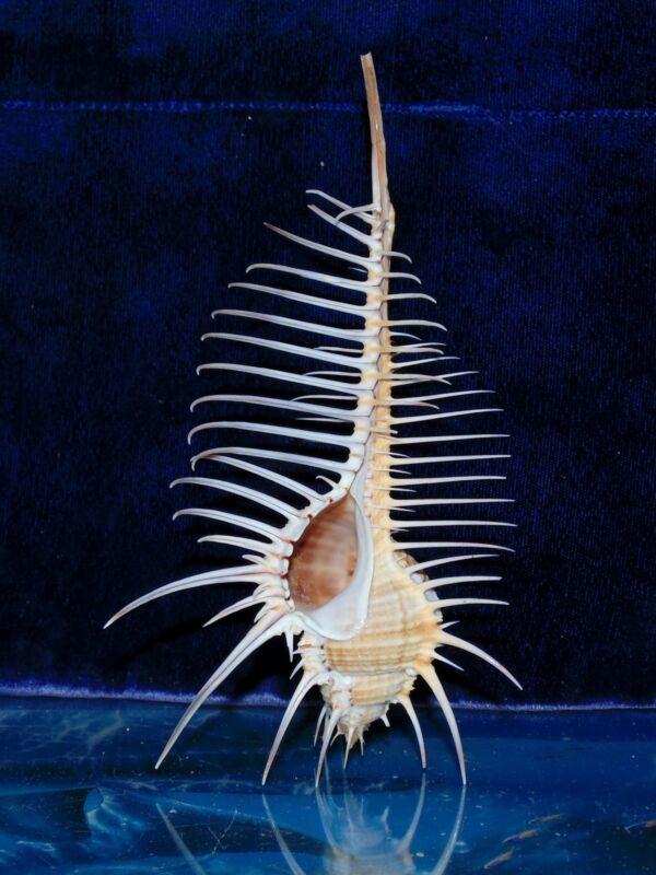 "4 to 5"" MUREX PECTEN VENUS COMB INDIAN OCEAN SEA SHELL BEACH DECOR CRAFT"