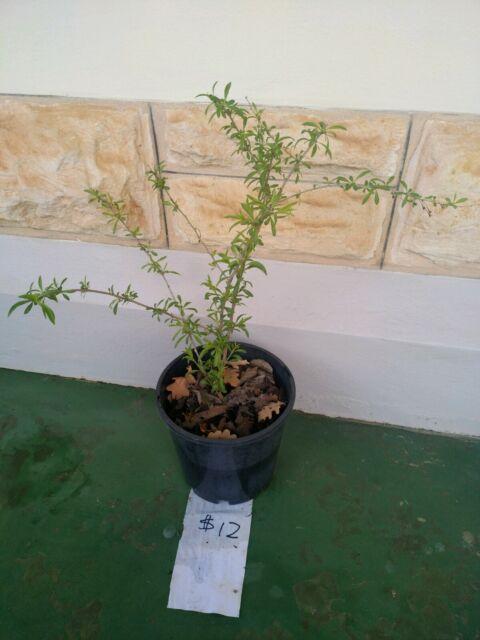 Goji Berry Plant For The Garden Plants Gumtree Australia Mount
