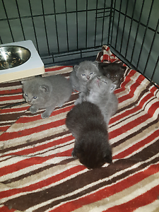 Persian x ragdoll kittens Daisy Hill Logan Area Preview