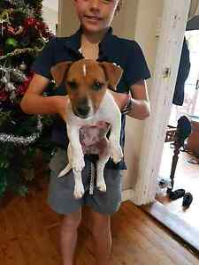 Female Jack Russell Puppy for sale Cudal Cabonne Area Preview