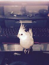 Lost gray cockatiel Gungahlin Gungahlin Area Preview