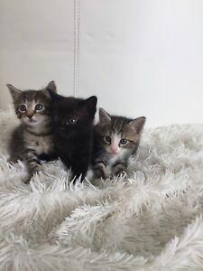Rag doll x kittens