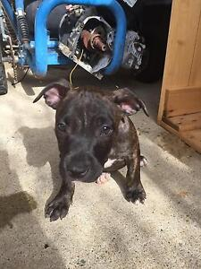 Staffy pups for sale Bray Park Pine Rivers Area Preview