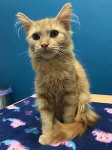 *Sassy* Kitten Adoption