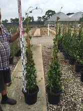 STAR JASMINE TRIPOD TOPIARY CONES ASSORTED SIZES Good Quality and Annangrove The Hills District Preview
