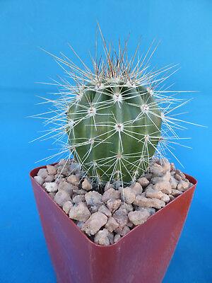 (Saguaro Cactus Nice Spines Carnegiea gigantea Succulent 3