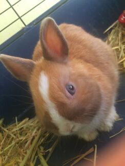Male VM Netherland Dwarf Rabbit