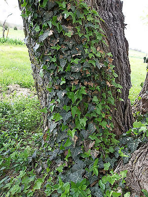(LOT OF 20 ENGLISH / BALTIC IVY LIVE PLANT CUTTINGS GROUND COVER CLIMBING VINE)