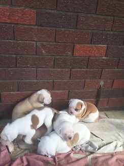 Pedigree American Bulldogs Gnangara Wanneroo Area Preview