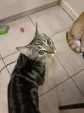 Missing Cat Miss Poppins Accidentally Sold In RSPCA Clayfield Brisbane North East Preview