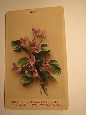 Viola odorata - Wohlriech - Pfeilchen - Pflanze / CDV