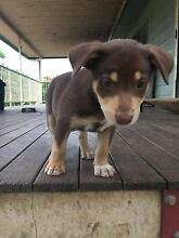 PURE BRED KELPIE PUPPIES X 2 - $350 each Stanwell Rockhampton Surrounds Preview