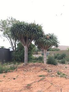 5 x Mature  Dragon tree @ Adelaide Plant Recovery Athol Park Charles Sturt Area Preview