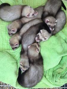 Baby Ferrets Kapunda Gawler Area Preview