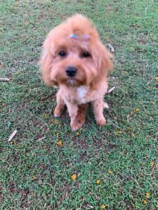 Toy Cavoodle!! Female Lilly