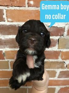 Beautiful Portuguese Water Dogs Puppies