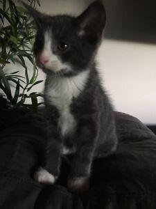 Kitty for adoption * Forever family