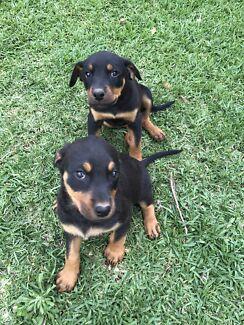 Rottweiler x Doberman puppies