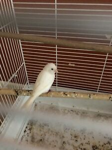 Females canary one year old