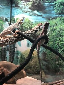 Male bearded dragon and 40 gallon tank for sale