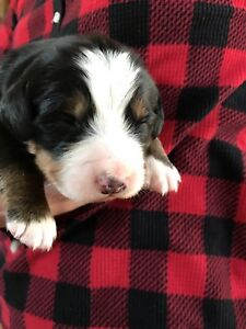 Beautiful Bernese puppies
