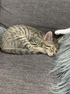 Free 8 Week Old Kittens x 2
