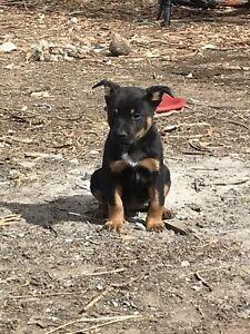 Kelpie x Heeler pups
