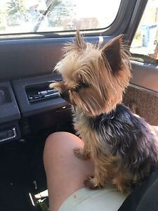 FOUND YORKSHIRE TERRIER in Aurora NE