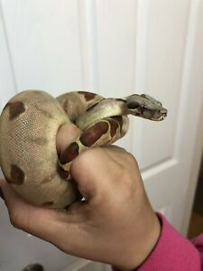 Female hypo boa yearling