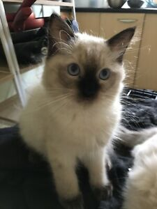 Ragdoll kitten (please no time wasters)