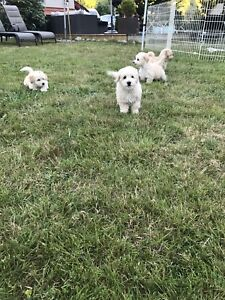 4 Poodle Cross puppies