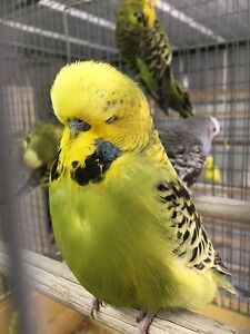 Quality young male budgie from Show Breeder Camberwell Boroondara Area Preview